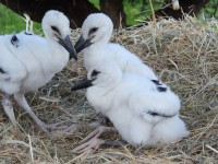 Baby storks in Alsace