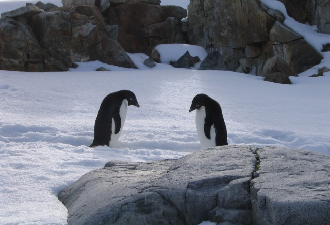 Adelie penguins on Petermann Island, Antarctica