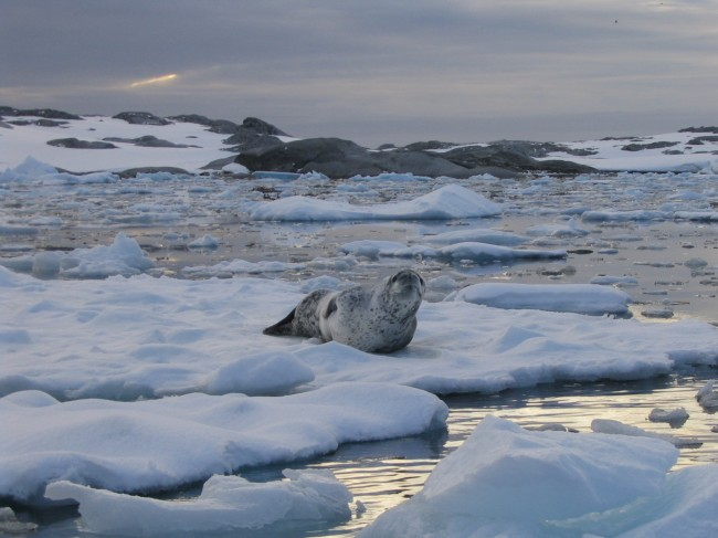 Leopard seal on an ice floe, Antarctica