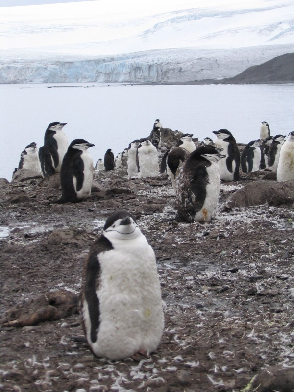 Chinstrap penguins, Livingston Island, Antarctica