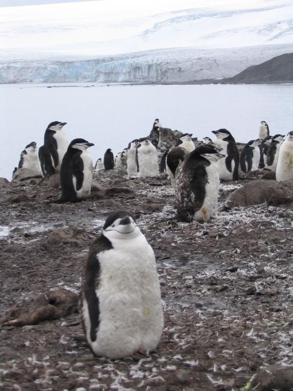Chinstrap penguins, Livingston Island, Antarctica