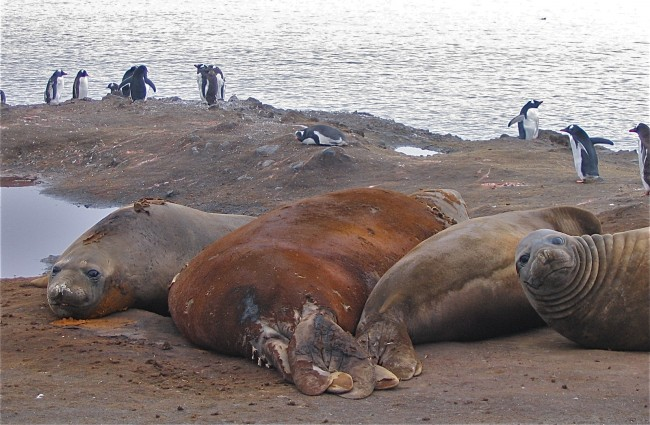 Elephant seals on Livingston Island, Antarctica