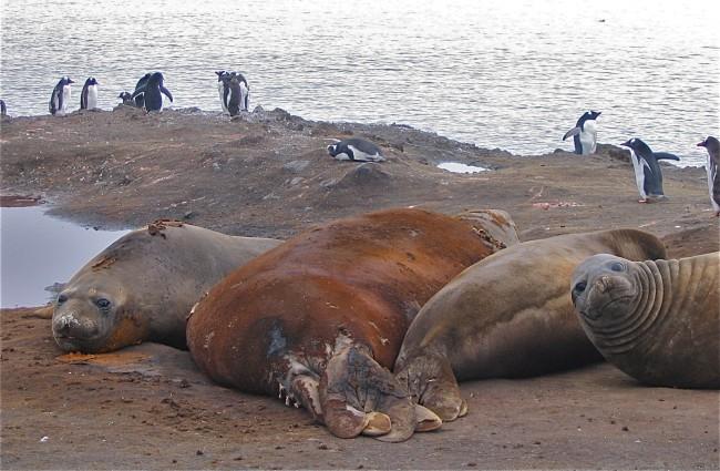 Elephant seals on Livingston Island, Antarctica