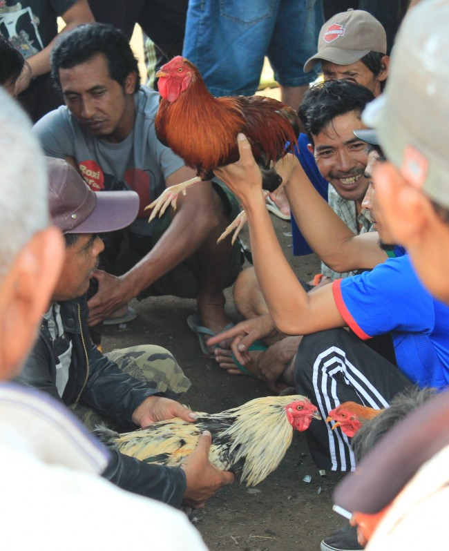 Preparing for the cock fight (Ubud Bali)