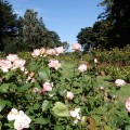 Rose garden, Golden Gate Park