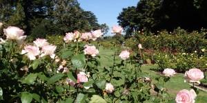 Rose garden, Golden Gate Park