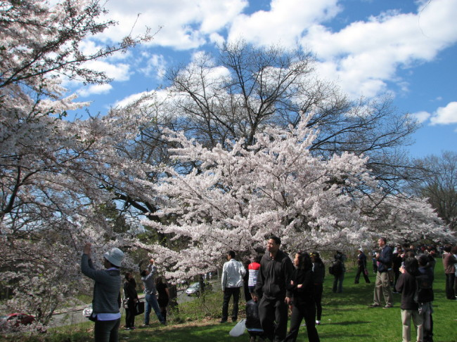 Cherry blossoms in High Park (Toronto)