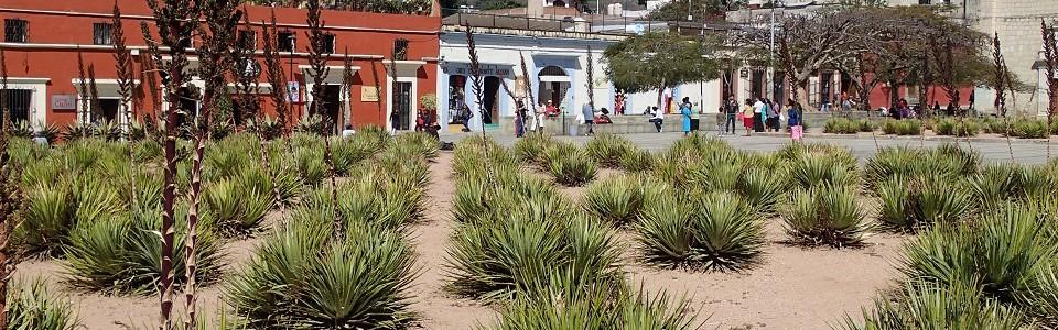 Maguey plants (Oaxaca)
