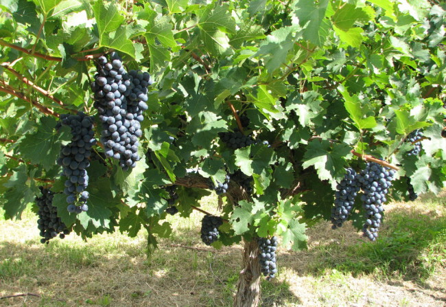 Grape vines, Mendoza (Argentina)