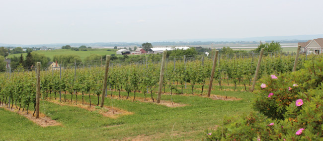 Domaine de Grand Pre vineyards (Nova Scotia)