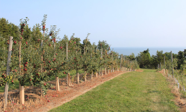 Apple trees at the County Cider Company (Prince Edward County)