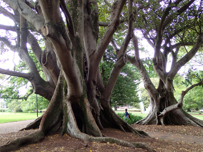 Large fig trees in Albert Park (Auckland, New Zealand)