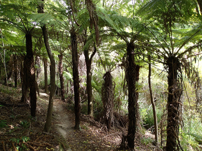 Forested trail (Waiheke, New Zealand)