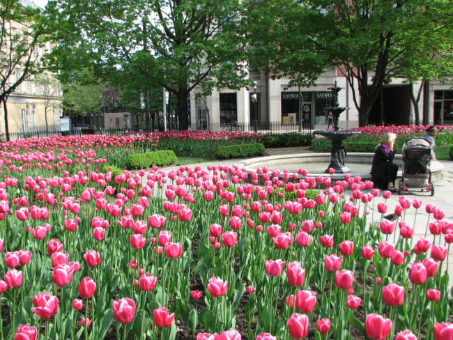 Tulips in St-James Park, Toronto (10 things to do in Toronto in spring)