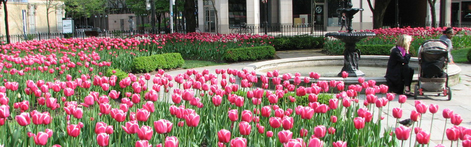 Tulips in St-James Park, Toronto