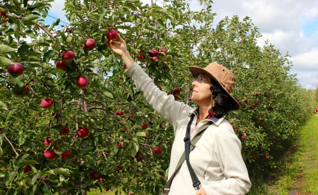 Picking apples at orchard Le Gros Pierre