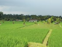 Bali rice fields,  Indonesia