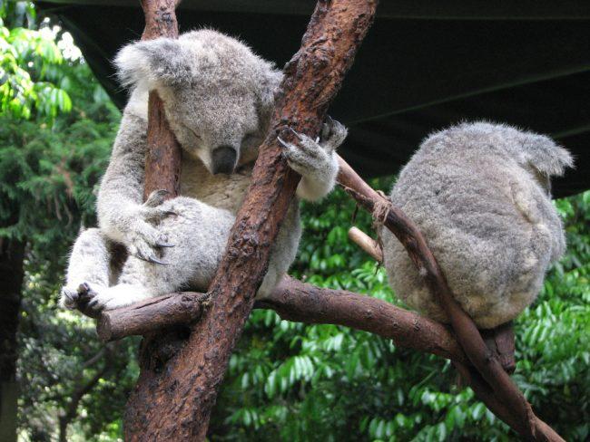 Cute koalas in an animal park in Sydney (great winter destinations)