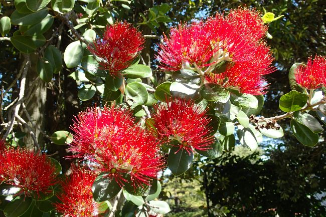 Flowers of the pohutukawa tree (Christmas tree), New Zealand - Christmas traditions