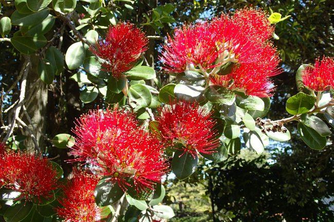 Flowers of the pohutukawa tree (Christmas tree), New Zealand - Christmas traditions