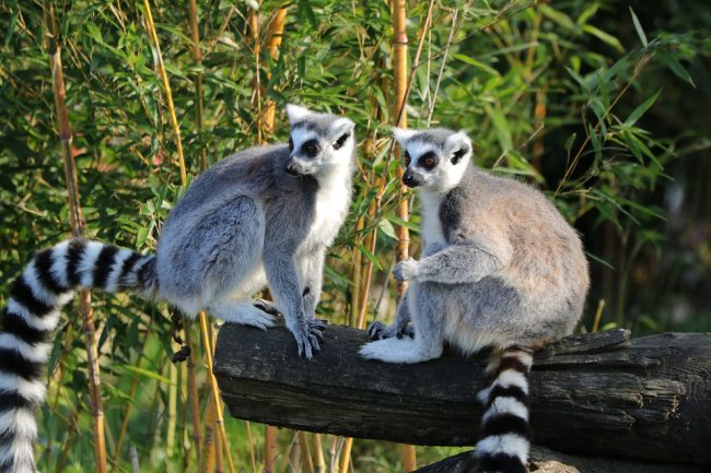 Madagascar ring-tailed lemurs (travel bucket list)