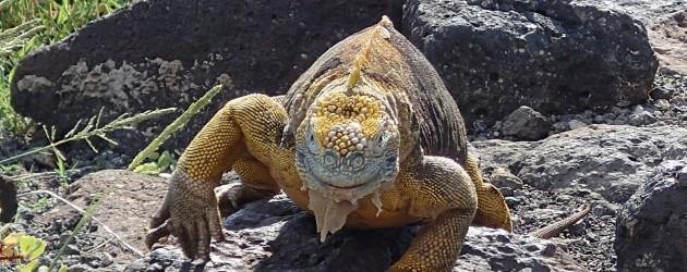 Land iguana on South Plaza