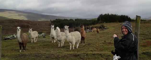 Llamas, Cotopaxi