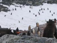 Penguins, Cuverville Island, Antarctica