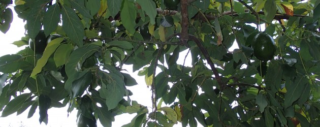 Avocado tree, Vilcabamba