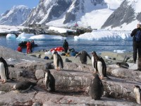 Gentoo penguins on Petermann island