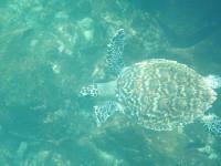 Sea turtle - Galapagos